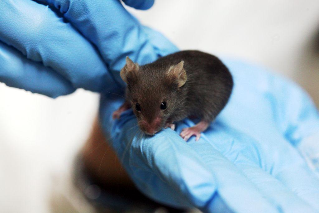 souris de laboratoire